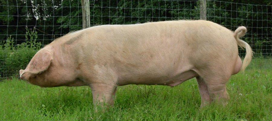 porc blanc de l ouest