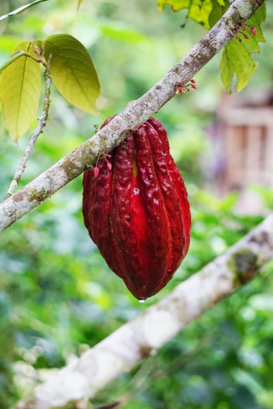 Cacao 02 1
