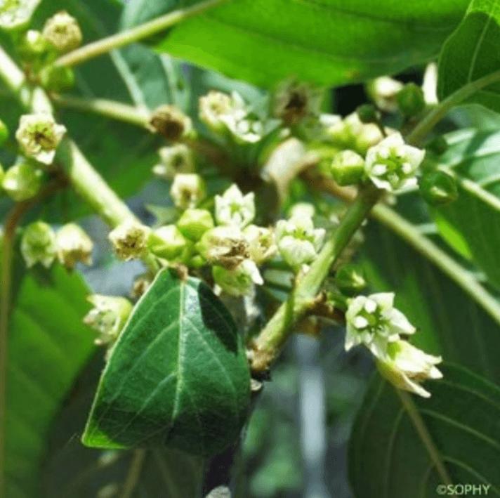 fleurs de bourdaine