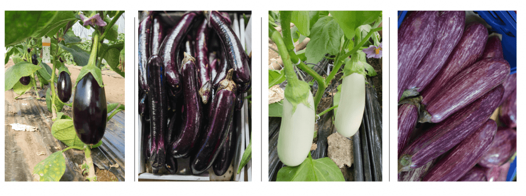 aubergines 02