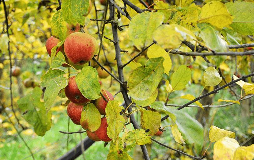 pommes cidre